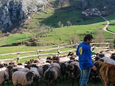 Saving vultures by livestock farming